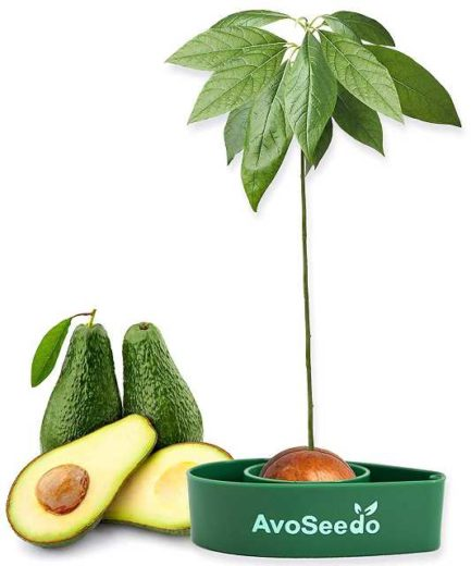 Avocadobaum selbst pflanzen